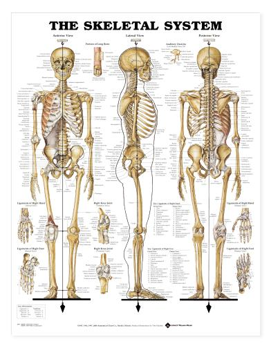Detailed Human Skeleton Diagram Healthquest/st john