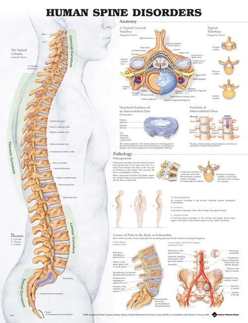 Human Spine Disorders Anatomical Chart Wiring Diagram